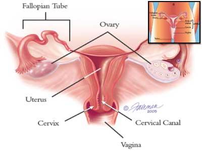 gambar vagina